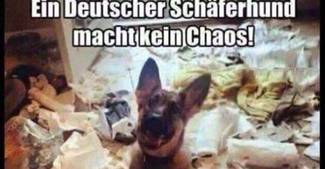 ein deutscher sch ferhund macht kein chaos lustige bilder spr che witze echt lustig. Black Bedroom Furniture Sets. Home Design Ideas