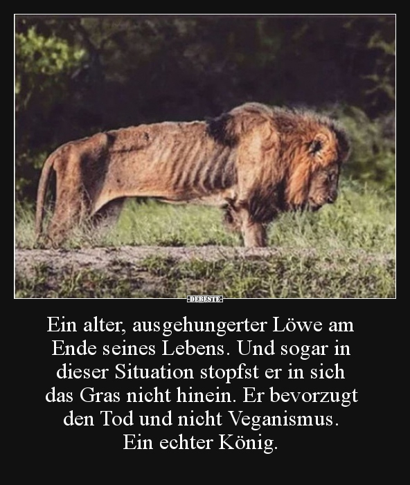 löwen sprüche Ein alter, ausgehungerter Löwe am Ende seines Lebens.. | Lustige  löwen sprüche