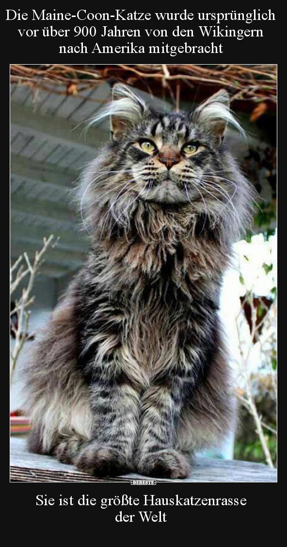 Die Maine Coon Katze Wurde Ursprunglich Vor Uber 900 Jahren Lustige Bilder Spruche Witze Echt Lustig
