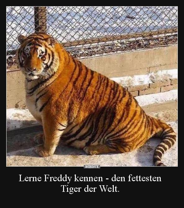 Lerne Freddy Kennen Den Fettesten Tiger Der Welt