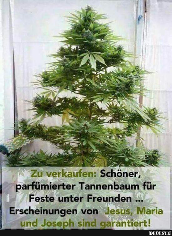 Tannenbaum Lustig.Zu Verkaufen Schöner Parfümierter Tannenbaum Lustige Bilder