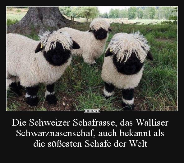 Die Schweizer Schafrasse Das Walliser Schwarznasenschaf Lustige
