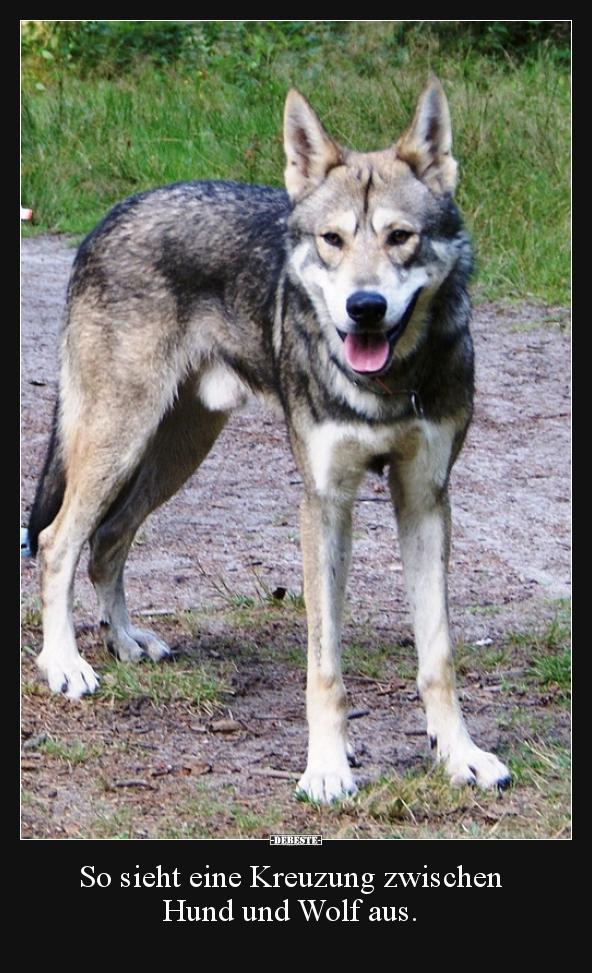 So Sieht Eine Kreuzung Zwischen Hund Und Wolf Aus